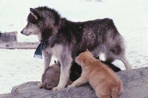 Livsmedel som Husky hundar äter