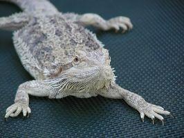 Vad är en Bearded Dragons livsmiljö?