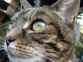 Hur man behandlar en katt som är allergisk till Psyllium