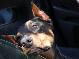 Varför får vissa hundar bil?