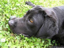 Hur man förebygger urinvägsinfektioner hos hundar