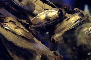 Hur till skapa hummer kackerlackor