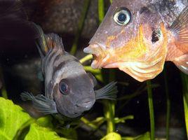Hur du enkelt rengöra en Fish Tank