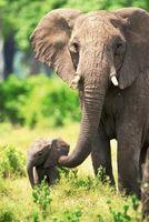 Hur man drar en elefant stam