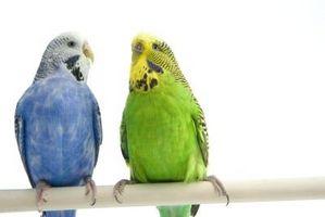 Skillnader mellan papegojor & parakiter