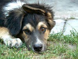 Prednison för hund Cancer