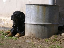Hundarnas mjälte Cancer