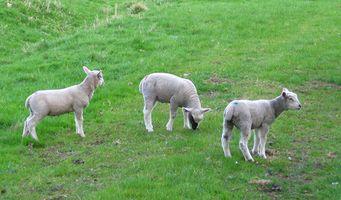 Hur kan jag tjäna pengar med gård djur?