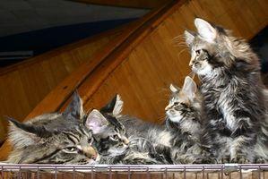 Giftfria loppa behandlingar för katter