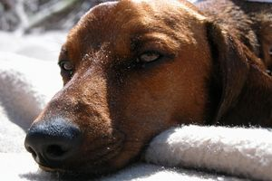 Vilka är behandlingarna för utgjutning i knät hos hundar?