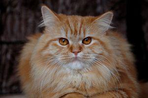 Hur man rengör med vinäger & vatten för katt-urin luktar