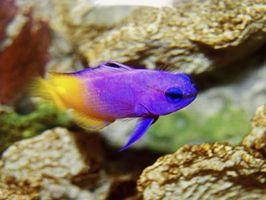 Hur man startar ett saltvatten akvarium hemma