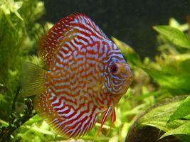 Vad är tecken på parbildning i diskus fisk?