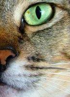Hur att behandla colon irritabile hos katter