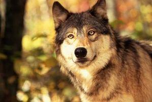 Wolf Head Tutorial