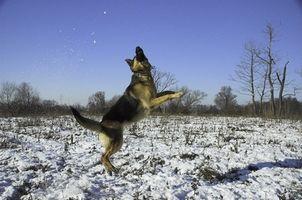 Botemedel för hundar med Red Mange