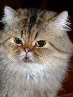 Om Betadine användning för behandling av Ringorm hos katt