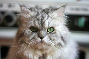 Inåtväxande ögonfransar hos katter