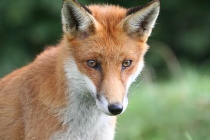 Hur man drar en räv med kläder