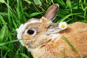 Hur man behandlar urinvägar hos kaniner
