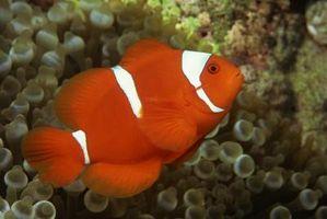 Hur till skapa Clown fisk i fångenskap