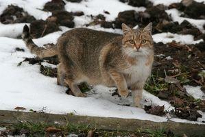 Hur att behandla köldskador på örat på en utomhus katt