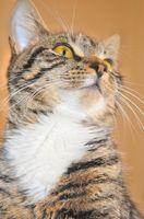 Rödklöver biverkningar hos katter