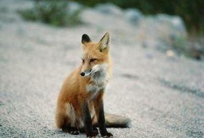 Typer av Desert Fox
