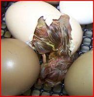 Hur att ruva äggen i en elektrisk stekpanna
