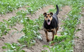 Herbicider & Cushing sjukdom hos hundar