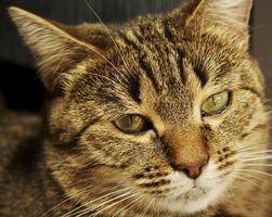njursvikt katt symtom
