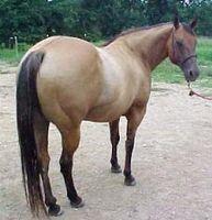 Hur man identifierar en amerikansk Quarter Horse