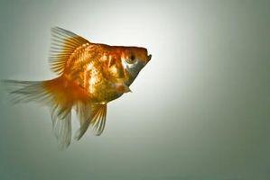 Hur korrekt nitrathalterna i ett akvarium