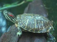 Hur man mata sötvatten sköldpaddor