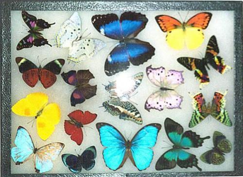 Hur man visar fjärilar