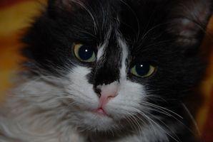 Fullständig återhämtning från en kastrering för katter