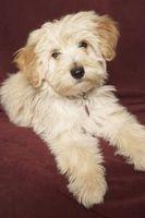 Skillnaden mellan en Havanese & tibetansk Terrier