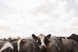 Vilka är farorna med A.I. mjölkkor?