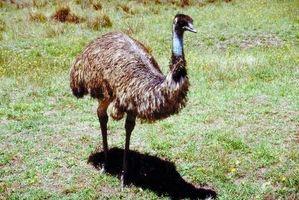 Hur man tämja en Emu