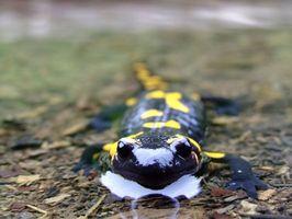 Kosten för en blå prickig Salamander
