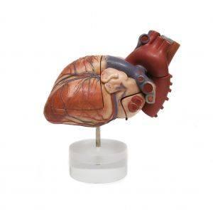 Delar av den mänskliga kroppen