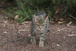 Vad orsakar vinglar & kräkningar hos katter?